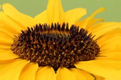 Detail of open yellow blossom of sunflower Royalty Free Stock Photography