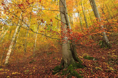 Detail of orange beech tree in a forest Stock Photo