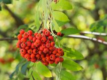Sorbus aucuparia rowan or mountain-ash tree with ornge berries growing on it. Detail of an orange berries of Sorbus aucupariarowan or mountain-ash tree, growing royalty free stock photos
