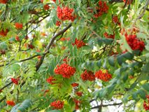 Sorbus aucuparia rowan or mountain-ash tree with ornge berries growing on it. Detail of an orange berries of Sorbus aucupariarowan or mountain-ash tree, growing stock photography