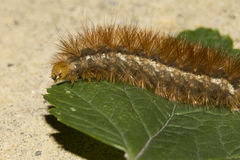 Detail of an orange caterpillar crawling on a leaf Royalty Free Stock Photography