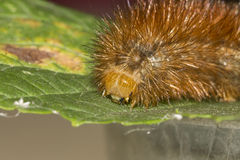 Detail of an orange caterpillar. Large pointy orange caterpillar on a green leaf stock photography