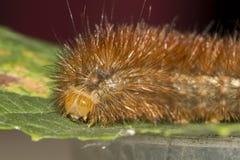 Detail of an orange caterpillar Stock Photos