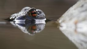 Detail of orange eye of a frog. Frog is under water, the eye is above the calm water surface. Very sharp and detailed stock footage