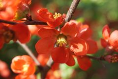 Detail of orange flowers on a blossoming bush Stock Images