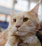 Detail of orange main coon. In a exibithion Royalty Free Stock Images