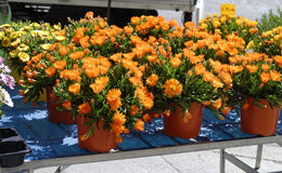 detail of orange mesembryanthemum Royalty Free Stock Photos