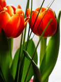 Detail of orange tulip flower Stock Photo