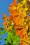Detail of orange and yellow leaves against blue sky at autumn. Detail of orange and yellow leaves against blue sky on a sunny autumn day Royalty Free Stock Photo