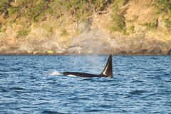 Detail of orca's tail above the water surface, Juneau, Alaska Stock Photo