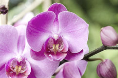 Detail of orchid Royalty Free Stock Photos