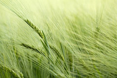 Detail of organic green grains Stock Image