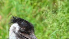 Detail of Ostrich Emu stock video