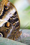 Detail of an owl butterfly Royalty Free Stock Images