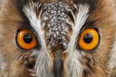 Detail of owl eyes. Close-up portrait of Long-eared owl sitting on the branch in the fallen larch forest during autumn. Wildlife royalty free stock photo