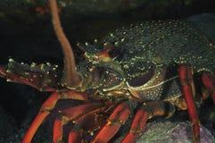Detail of packhorse lobster. Closeup detail of large packhorse lobster Jasus verreauxi Royalty Free Stock Image
