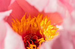 Detail Paeonia Royalty Free Stock Images
