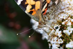 Detail of Painted Lady Royalty Free Stock Photos