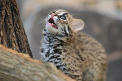 Detail of Palawan leopard cat kitten. At a tree Stock Images