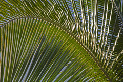Detail of a palm frond Royalty Free Stock Photo