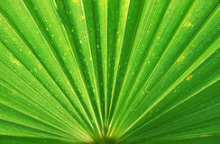 Detail palm leaf Stock Images