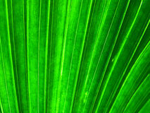 Detail of palm leaf. Macro detail of livingstonia chinensis leaf Royalty Free Stock Photography