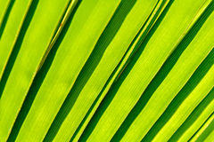 Detail of the palm leaf Stock Photography