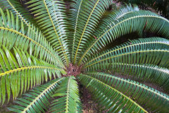 Detail of palm tree leaves at garden in Cagliari, Sardinia Royalty Free Stock Photos