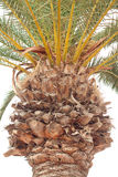 Detail of palm tree trunk. Closeup of palm tree trunk and branches isolated on white Royalty Free Stock Images