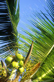 Detail of palm trees, Key West, FL Royalty Free Stock Photos