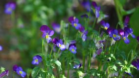 Pansies. Detail of pansies over blurry background Stock Images