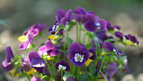 Pansies. Detail of pansies over blurry background Stock Photography