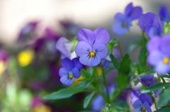Pansies. Detail of pansies over blurry background Royalty Free Stock Image