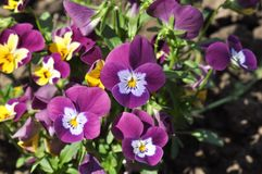 Pansies. Detail of pansies over blurry background Stock Photo