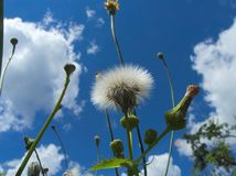 Detail of past blossoming dandelion against blue sky Royalty Free Stock Images