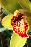 Detail of patchy red to white lip of yellow Cymbidium orchid flower. Side view stock photo