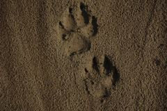 Detail of a paw print in sand. Detail of a paw print in sand royalty free stock images