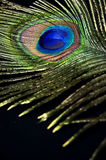 Detail of peacock feather Stock Image