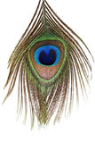 Detail of peacock feather eye. On white background Stock Photography