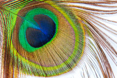 Detail of peacock feather eye on white background Royalty Free Stock Image
