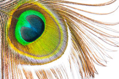 Detail of peacock feather eye on white background Stock Images