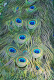 Detail of Peacock Feather Royalty Free Stock Image