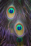 Detail of a peacock plumage. With two beautiful eyes Stock Photo