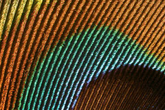 Detail of a peacock's feather Stock Photography