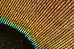 Detail of a peacock's feather. (striped pattern Royalty Free Stock Image