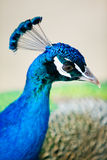 Detail of peacock's head from profile Stock Photography