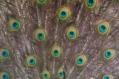 Detail of the peacok male plumage Stock Images