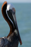 Detail of pelican. Royalty Free Stock Photo