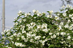 Detail of philadelphus. In a garden Royalty Free Stock Photography