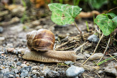 Detail photo of beautiful snail or slug in outdoors Royalty Free Stock Images